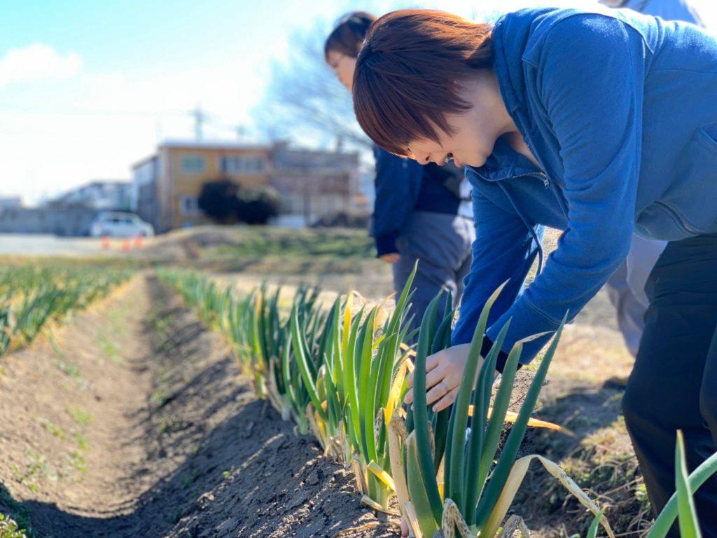 長谷川農園 ネギの収穫